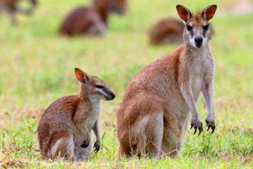 Wildlife - Wallaby