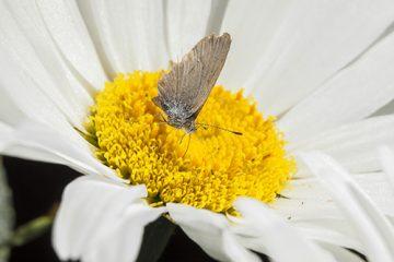 Macro photography Cabbage Moth