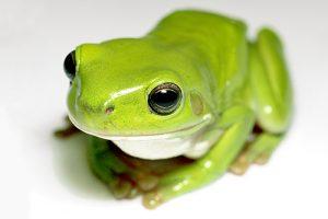 Macro photography Green Tree Frog