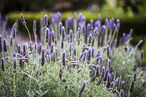 Macro photography Lavender French