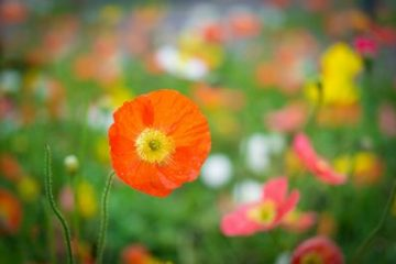 Macro Photography Toowoomba Poppy