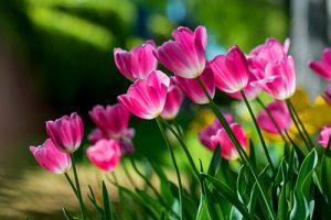 Macro Photography Toowoomba tulips