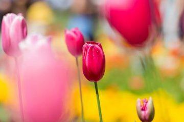 Macro Photography Toowoomba tulips red