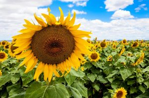 Photography-Courses-Toowoomba-Sunflowers